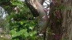 Dev Piton Ağacın Üzerinde Keseli Sıçanı Böyle Mideye İndirdi