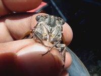 Böcek Reis'in Ağustos Böceği Macerası