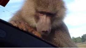 Belgeselin Ortasında Belgesel Çeken Adamların Arabasına İşeyen Maymun