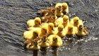5000 Yavru Ördeğin Su ile İlk Kez Buluşma Heyecan