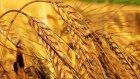 Buğday Hırsızı Masalı  -Sesli Masal Dinle-En Güzel Masallar
