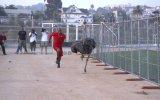 Deve Kuşuyla Yarışmak