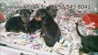 King Doberman Yavruları - Satılık Doberman Yavruları