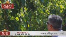 4 Yaşındaki Altay Cevizi Salkım Ceviz 2015