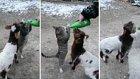 Küçükbaş Hayvanların Rızkına Göz Koyan Süt Hastası Kedi