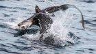 Denizaslanı Köpek Balığını Avladı