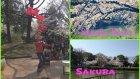 Nagoya Kalesi Parkı ve Sakura