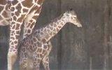 Zürafa Doğum Anı