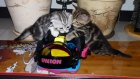 Funny Cats. Snowboarding kittens