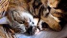 Mom Cat Coco Hugs 7 Cute Kittens
