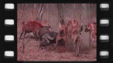Lion vs Hyena  Real Fight   Paw Arena World