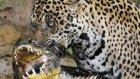 Jaguarın Başarılı Timsah Operasyonu