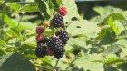 Ham Meyvayı Kopardılar Dalından (Yedi Karanfil)