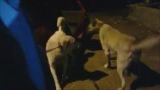 Gece Kangal Dövüşü
