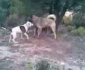 Pitbul - Kangal Dövüşü