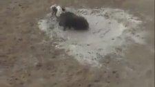 Dogo Argentino ve Yaban Domuzu Karşılaşması