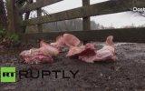 Mülteci Kampına Domuz Kafası Bırakmak  Hollanda