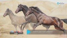 Atların Yaşı Nasıl Anlaşılır?