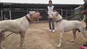 Pitbull ve Arjantin Dogo Karşı Karşıya