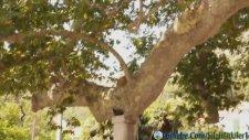 Çinar Ağacı ve Çınar Ağacının Faydaları