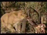 aslan ordusu fili böyle avlıyor