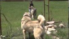 Kapıışmak İçin Can Atan Kangal Köpeği