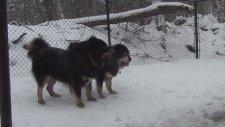 Tibet Çoban Köpekleri - Tibet Mastifi