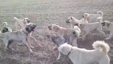 Kangal Köpeklerinin Karşılaşması