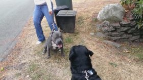 Pitbull İle Rottweiler Dövüşü