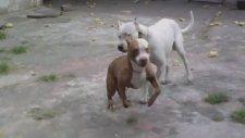 Pitbull ve Dogo Argentino Kapışması!