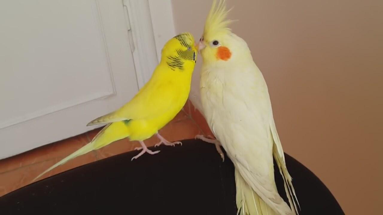 Muhabbet Kuşu Ve Sultan Papağanı Izlesenecom