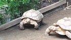 Taşın Üzerinde Mahsur Kalan Arkadaşı Kurtaran Kahraman Kaplumbağa