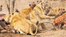 Aslanları Püskürterek Yemeklerini Ellerinden Alan Korkusuz Sırtlanlar