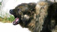 Kafkas Çoban Köpeği Bilgileri