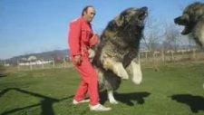 Kafkas Çoban Köpekleri