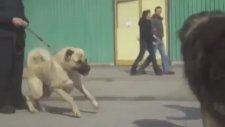 Kangal ve Kafkas Köpeği'nin Atışması!