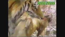 Vahşi Hayvanlar - Pitbull,Aslan,Kaplan,Dağ Aslanı