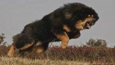 Vahşi Hayvanlar - Pitbull,Kangal,Rottweiler