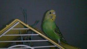 Dişi Muhabbet Kuşu Sesi