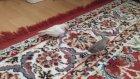 Hint Bülbülleri Zebra İspinozları Özel Albino Dişi Kuş