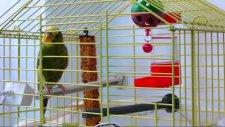 Sarı Muhabbet Kuşu Sesi