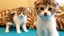 Şimdiye Kadarki En Şirin Scottish Fold İkiz Kedileri