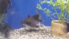 Akvaryumda Büyük Balığın Aynı Boydaki Balık Tarafından Yutulması