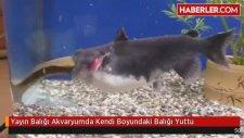 Yayın Balığı Akvaryumda Kendi Boyundaki Balığı Yuttu