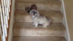 Shih Tzu Yavrularının Merdivenle İmtihanı