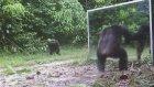 Aynada Kendini Görünce Kafayı Yiyen Şempanze