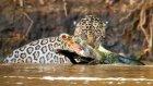 Jaguar Timsahı Suyun İçinde Avladı