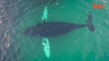 Kambur Balinaların Beslenme Anları