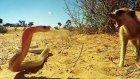 Kobra Yılanı Ve Mirket Savaşı