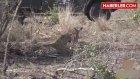 Leopar, Yakaladığı Yavru İmpalayı Öldürmedi